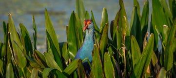 Siwieję przewodził swamphen w liściach w Floryda, usa obrazy royalty free