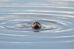 Siwieje fokę Fotografia Royalty Free