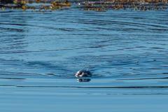 Siwieje fokę blisko Hvitserkur, Północny Iceland Obrazy Royalty Free
