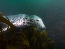 Siwieje fokę w kelp 04 Zdjęcie Stock