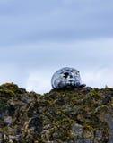Siwieje fokę przy farne wyspami Obraz Royalty Free