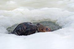 Siwieje foki Zdjęcie Royalty Free