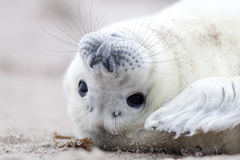 Siwieje foki dziecka Obraz Royalty Free