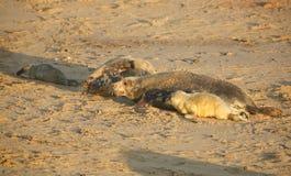 Siwieje foki Halichoerus grypus mums i niedawno urodzone ciucie kłama na plaży przy Horsey, Norfolk, UK fotografia royalty free