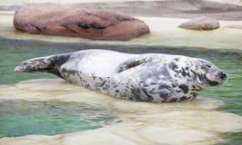 Siwieje foki lying on the beach Zdjęcie Royalty Free