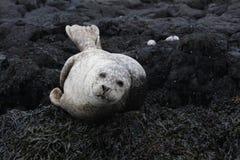 Siwieje foki lying on the beach na skałach Zdjęcia Royalty Free