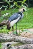 Siwieje Koronowanego żurawia obrazy stock