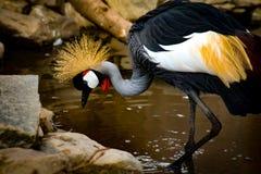 Siwieje Koronowanego żurawia w wodny patrzeć dla jedzenia fotografia royalty free