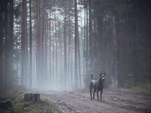 Siwieje pięknego tajemniczego osamotnionego tajlandzkiego ridgeback psa w lesie Obrazy Royalty Free