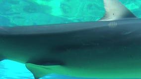 Siwieje rafowego rekinu zbiory wideo