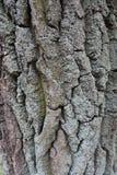 Siwieje suchą drzewną barkentynę zakrywającą z liszajem Obraz Stock