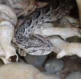 Siwieje węża fotografia stock