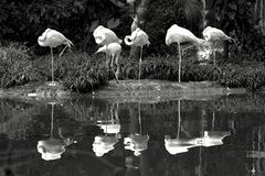 Six American flamingos standing near a pond stock image