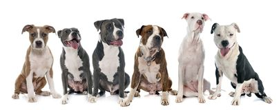 Six american staffordshire terrier. Group of american staffordshire  terrierw in front of white background Stock Photo