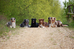 Six Australian Shepherds in a row Royalty Free Stock Photos