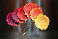 Six Autumn Aspen Leaves Royalty Free Stock Photos