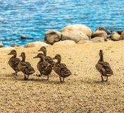 Six Baby Ducks Walking on Lake Shore Royalty Free Stock Photos