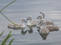 Six baby Signets on River  -  together in a group Stock Image