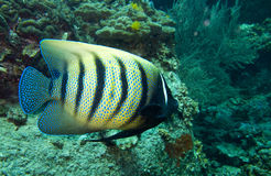 Six banded angel fish. A six banded angelfish swimming over the rocks and coral Stock Photo