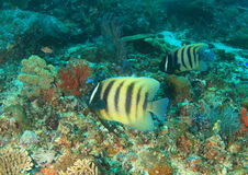 Six-banded angelfish. Two six-banded angelfishes Pomacanthus sexstriatus fish swimming in coral reef - Komodo National Park, Flores, Indonesia Royalty Free Stock Photography