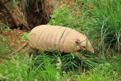 Six-banded armadillo Royalty Free Stock Photo