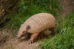 Six-banded armadillo (Euphractus sexcinctus) Stock Photo