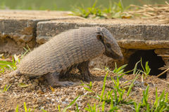 Six-Banded Armadillo Sitting in front of Den Stock Image