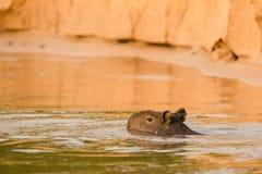 Capybara Swimming in Orange Water, Partly Submerged Stock Photos