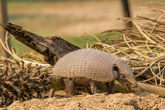 Six-Banded Armadillo Standing by Fallen Palm, Mouth Open Royalty Free Stock Photography