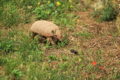 Six-banded armadillo Stock Photography