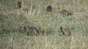 Six banded mongoose feeding in grass. In the Masai Mara National Reserve, Kenya Royalty Free Stock Photography