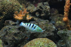 Six-banded wrasse Royalty Free Stock Image