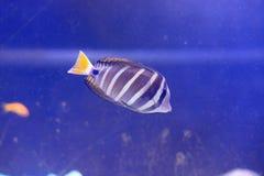 Six-bar angelfish Royalty Free Stock Photography