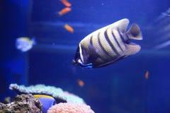Six-bar angelfish Stock Images