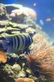 Six-bar angelfish Royalty Free Stock Photos