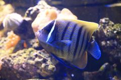 Six Bar Angelfish (Pomacanthus sexstriatus) Royalty Free Stock Image