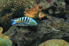 Six-bar wrasse. The six-bar wrasse among the corals Royalty Free Stock Photography