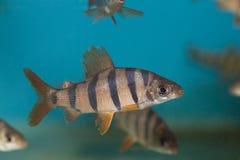 Six-barred Distichodus fish Stock Images