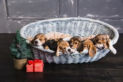 Six beagle puppies sleeping in the basket Stock Image