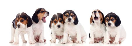 Six beaux chiots de briquet photo stock