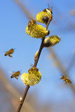 Six bees and one branch of willow. Six spring bees gathering honey and one branch of willow Stock Photography