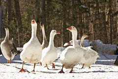 Six Big Geese In Winter Snow Royalty Free Stock Images