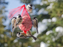 Six Black-capped Chickadees (Poecile atricapillus). Six black-capped chickadees having a suet dinner in winter Stock Photo