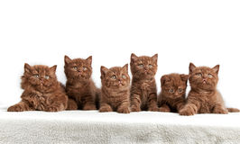 Six brown british kittens Stock Images