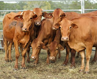 Six brown cows pose for camera Royalty Free Stock Photo
