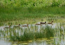Six canards nageant 1 Images libres de droits
