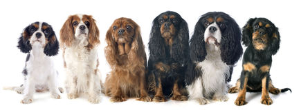 Six cavalier king charles Stock Photography
