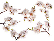 Six cherry-tree branches with lot of flowers Royalty Free Stock Images