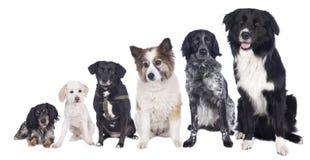 Six chiens mélangés de race dans une rangée Images stock