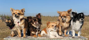 Six chihuahuas Stock Photography